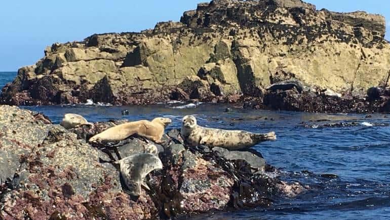 Grey Seals Around The Cornish Coast